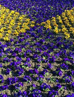 Pansy, Flowers, Flower Bed, Purple, Yellow, Spring