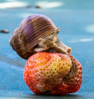 Strawberry, Snail, Eat, Shell, Food, Fruit, Nature