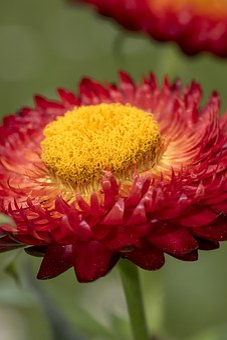 Italicum, Flower, Forever, Background, Yellow, Plant