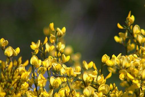 Flowers, Yellow, Bush, Shrubs, Minor, Full Bloom