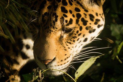 Jaguar, Cat, Feline, Leopard, Panther, Predator, Head