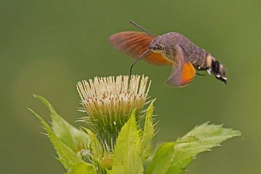 Hummingbird Hawk Moth, Carp Tail, Owls, Flower