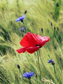 Poppy, Red Poppy, Klatschmohn, Red, Field Of Poppies