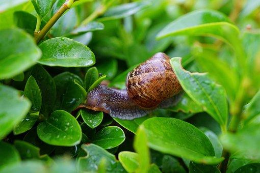 Snail, Hedge, Green, Crawl, Leaf, Nature, Slime, Slow