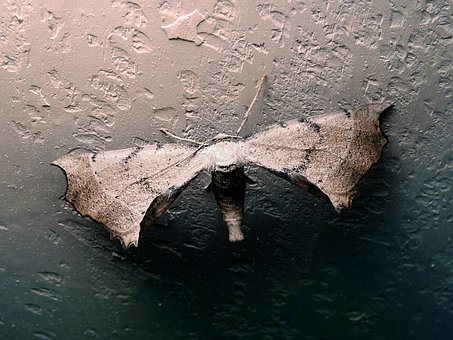 Moth, Insect, Butterfly, Wall, Huge, Wings