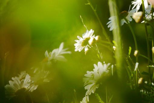 Early Summer, Calyx, Nature, Daisies, White, Grass