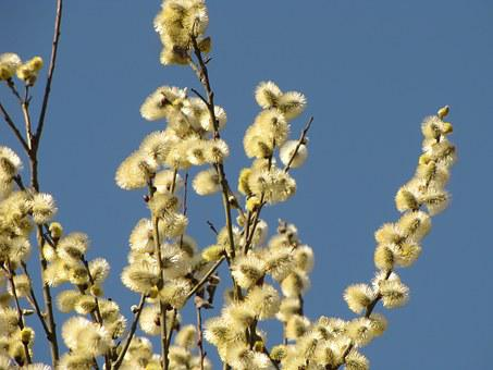 Willow, The Basis Of, Spring, Nature