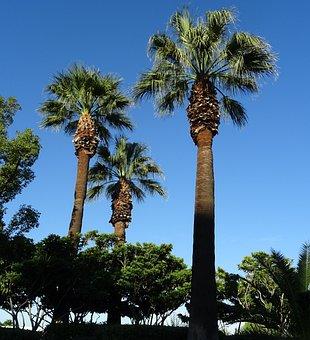 Palm, Tree, Washingtonia Filifera, Desert Fan Palm