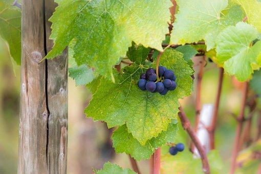 Grapes, Vine, Pinot Noir, Leaves, Autumn, Green, Wine