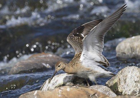 Ruff, Power, River, Rapids, Water, Flow, Bird, Summer