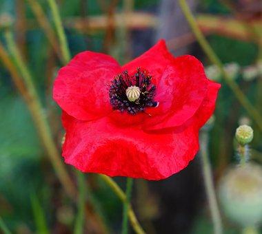 Poppy, Poppy Flower, Flower, Red, Klatschmohn
