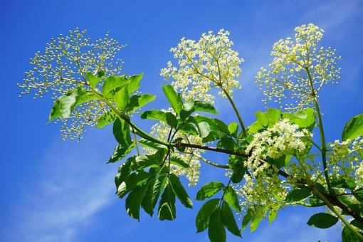 Black Elderberry, Elderflower, Branch, Road, White