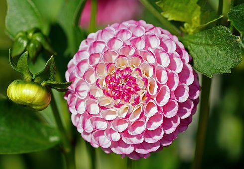 Dahlia, Pink, Flower, Ball, Roly-poly, Pink Flower
