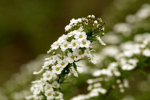 Lobularia Maritima, Sweet Alyssum, Flowers, Minor