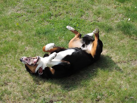 Appenzell Mountain Dog, Animal, Tri Color, Black, White