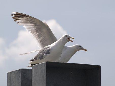 Gulls, Screech, Call, Water Bird, Bird