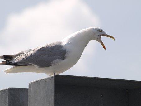 Seagull, Screech, Call, Water Bird, Bird
