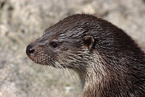 Otter, Wet, Lutra Lutra, Zoo, Fur, Marten