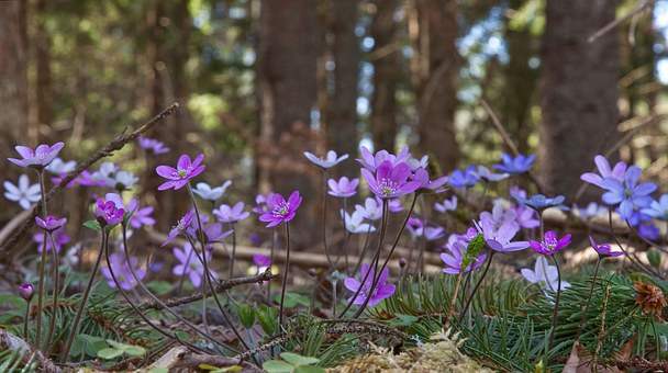 Blue Anemone, Anemone Hepatica, Multiple Colors