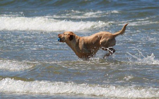 Dog, Animal Portrait, Animal, Animals, Retriever, Water