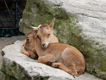 Capricorn, Animal Children, Mountains, Rock, Zoo
