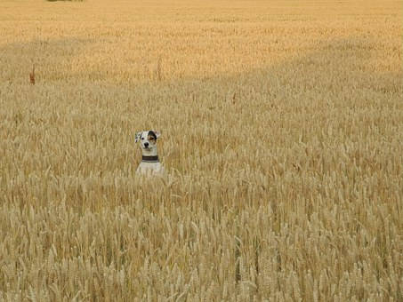 Dog, Field, Pets, Summer, Grain, Animal, Ears Of Corn