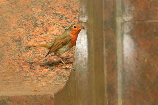Red Goblets, Bird, Animal, Species, Songbird, Birds
