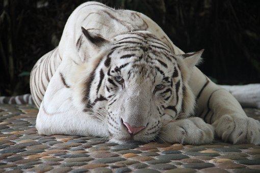 Tiger, White Tiger, Zoo, Animals, Animal