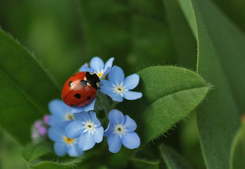 Ladybug, Insect, Animals, Close, Macro, Forget Me Not