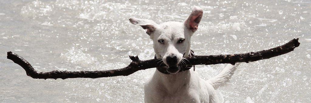 Dog, Batons, Water, Retrieve, Beach, Play, Fun, Sea