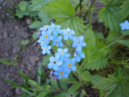 Summer, Garden, Flower, Blue, Forget Me Not, Earth