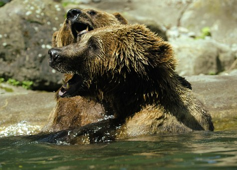Bear, Brown Bear, Ursus Arctos, Water, Zoo, Splashing