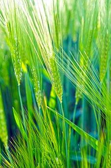 Wheat, Green, Field, Cereals, Epi, Wheat Fields, Spring