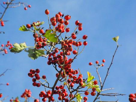 Autumn, Blue, Heaven, Sky, Berry, Clear, Nature