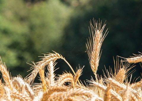 Epi, Summer, Wheat, Wheat Fields, Landscape, Cultures
