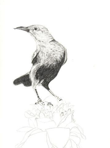 Pencil, Graphite, Animal, Bird, Drawing, Illustration