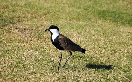 Peewit, Red-wattled Lapwing, Egypt, Bird, Feather, Beak