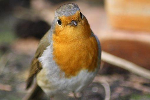Bird, Red Goblets, Garden, Antur, Grey, Feather