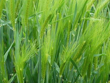 Wheat, Epi, Cereals, Agriculture, Cornfield, Field