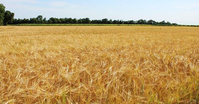 Fields, Wheat, Wheat Fields, Cereals, Epi, Agriculture