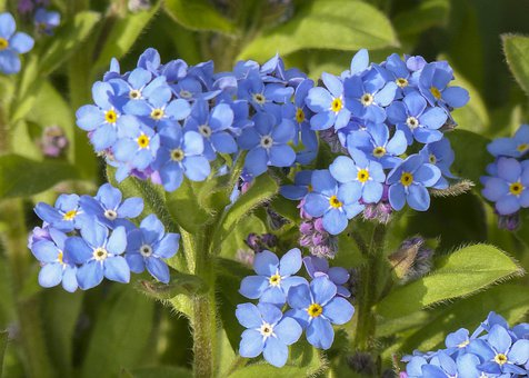 Forget Me Not, Wild Flower, Meadow, Close, Spring