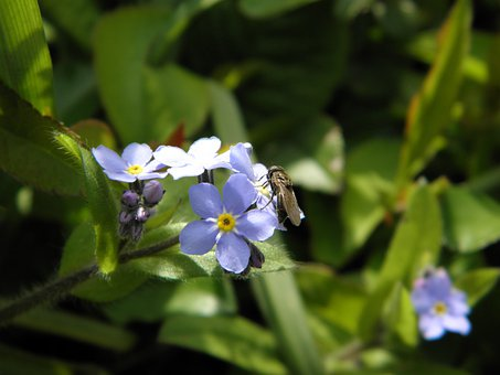 Fly, Insect, Forget Me Not, Blue Flower, Forget My Not