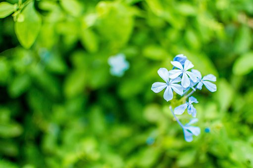 Forget-me-not, Flower, Blossom, Blue, Green