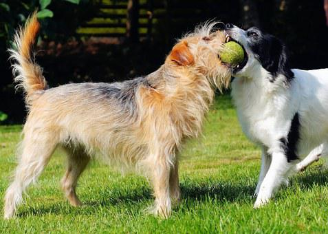 Dogs, Play, Garden, Ball, Great, Measure Forces, Cheeky