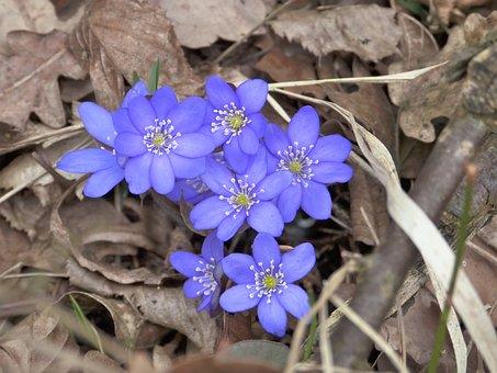 Hepatica, Blossom, Bloom, Hepatica Nobilis