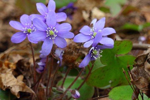 Hepatica, Spring, Spring Plant, Forest, Flower, Plant