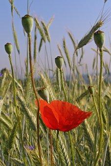 Meadow, Poppies, Flowers, Ears, Corn, Plants, Nature