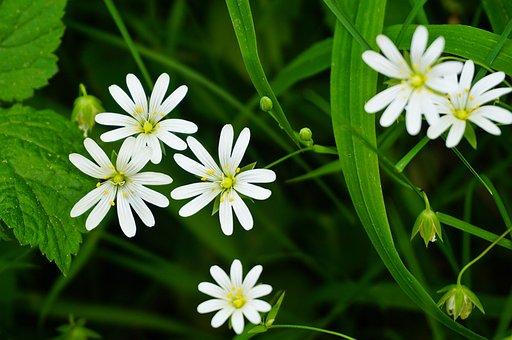 Programming, Stellaria Holostea, Addersmeat, Flowers