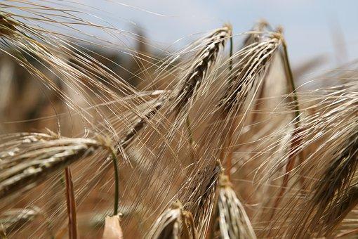 Wheat, Wheat Field, Rye, Wheat Spike, Ears Of Corn Ears