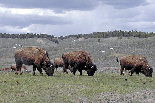 Bisons, Herd, Wildlife, Wild, Cattle, Bovine, Mammal